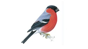 Bullfinch unnamed