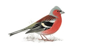 Chaffinch unnamed