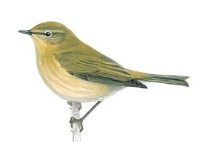 Chiffchaffunnamed