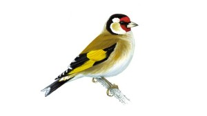 Goldfinch unnamed