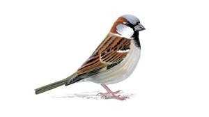 House Sparrow unnamed