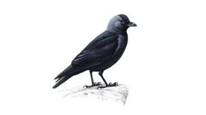 Jackdaw unnamed