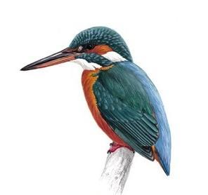 Kingfisherunnamed