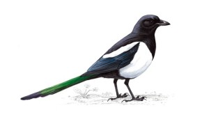 Magpie unnamed