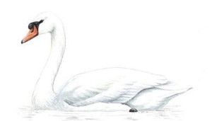 Mute Swanunnamed