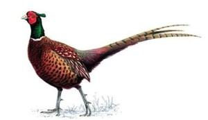 Pheasantunnamed
