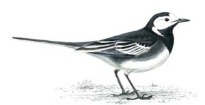 Pied Wagtailunnamed