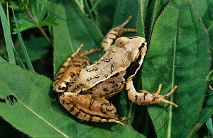 Pond - Common Frog
