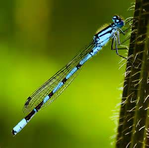 Pond - Damselfly