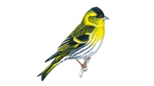 Siskin unnamed