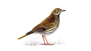 Song Thrush unnamed