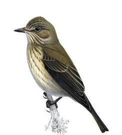 Spotted Flycatcherunnamed