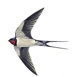 Swallowunnamed