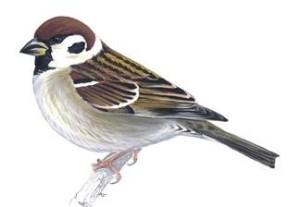 Tree Sparrowunnamed (324x224)