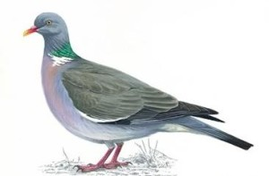 Woodpigeonunnamed